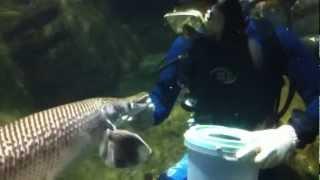 Feeding Arapaima the Hunchback Fish