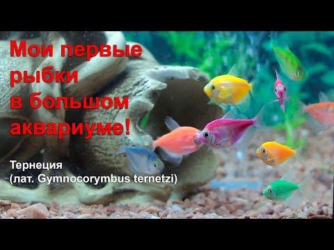 Мои первые рыбки в большом аквариуме!!! Тернеция - эти рыбки очень красивые, яркие, и разноцветные