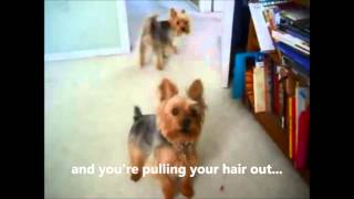 My Yorkie Barking Problem - I Love My Yorkie Temperament Except Barking!