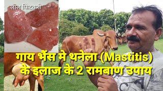 गाय भैंस मे थनैला रोग से बचने के घरेलू उपाय  / mastitis Treatment in cow and Buffalo at home