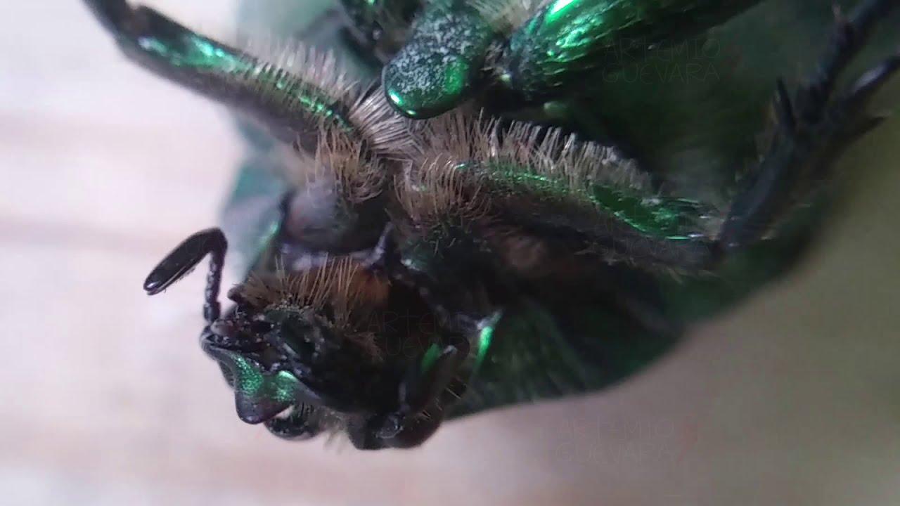 Escarabajo de Armadura Metálica Verde!