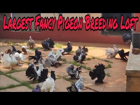 Largest Fancy Pigeon BreedingFarm | Fantails | Satinette | Modena | Chinese Owl | King Pigeons