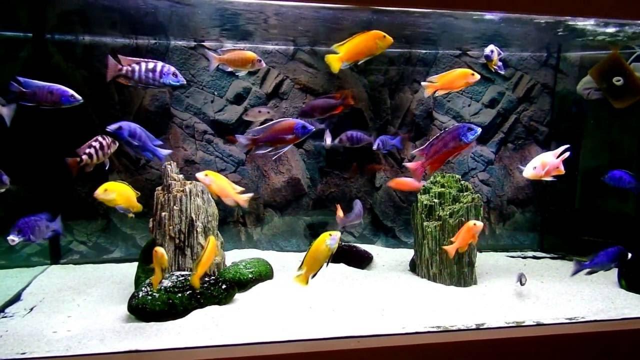 Malawi cichlids aquarium - YouTube