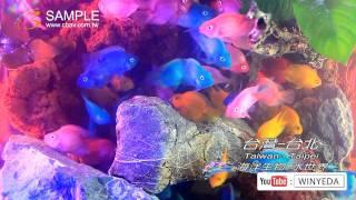 full hd 1080p 美的因 水世界 海洋生物 海草 觀賞魚 熱帶魚 10 ky0214