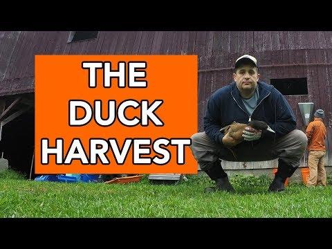 Harvesting the Ducks
