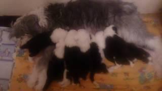 Щенки порода Бобтейл,продажа(город Самара).