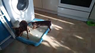 Купить щенка той-терьер в Москве.Русский той, мини, РКФ.89055466692