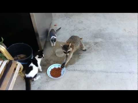 Raccoon Steals Cats