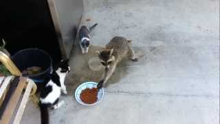 Raccoon eating cats
