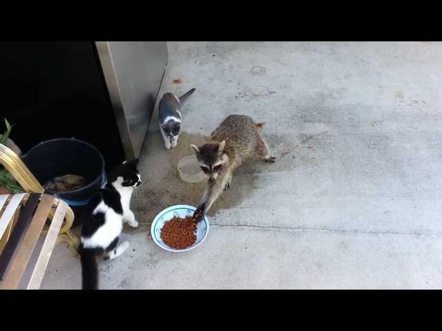 Raccoon Steals Cats Food (Original)