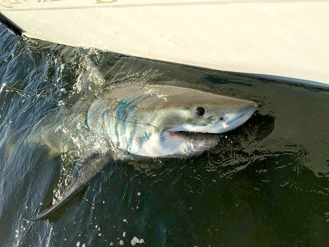 Great White Hooked Off Hilton Head Island, SC