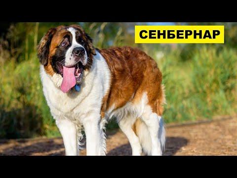Собака Сенбернар плюсы и минусы породы   Собаководство   Порода Сенбернар