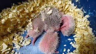 Новорожденный африканский ежик еж ежик ест и чавкает Африканський їжачок