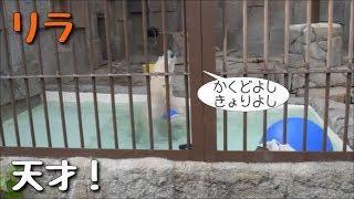 札幌市円山動物園 2017年10月8日(日) ホッキョクグマ リラ(メス・2歳) ...