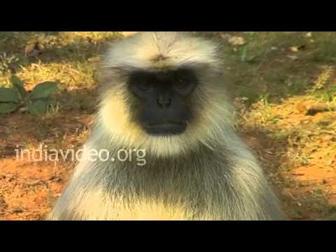 Hanuman Langur at Gir sanctuary