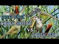 Suara Pikat Ciblek Sawah Vs Tebu Meong Ribut  Mp3 - Mp4 Download