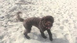 "7mo Portuguese Water Dog ""Phoenix""! Manners and Obedience in 2 Weeks! Melbourne, FL Dog Trainers."
