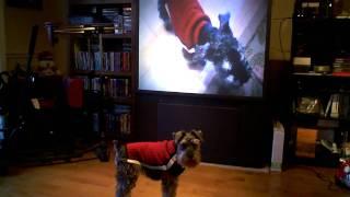 Bennie The Miniature Schnauzer Howling At Himself