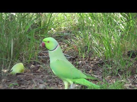Celery Green Parakeet  (•▽•) ❧
