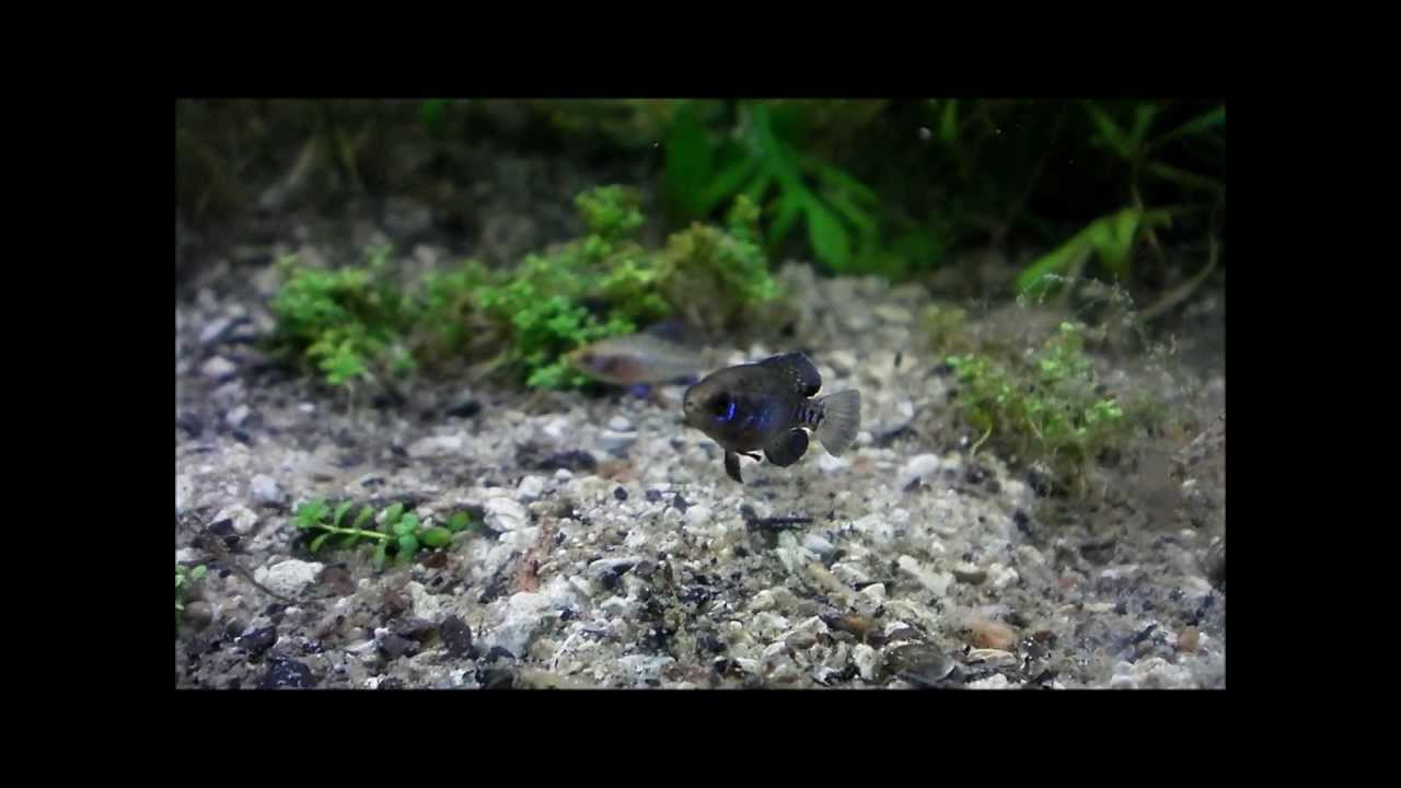 color changes of gulf coast pygmy sunfish