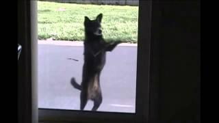 Собака танцует лезгинку / Dog dance Lezginka