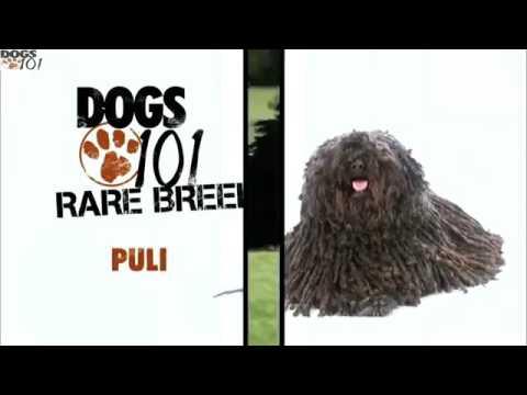 DOGS 101 - Puli (ENG)