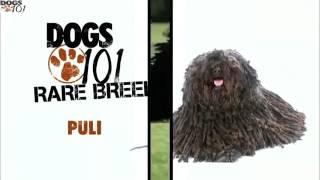 DOGS 101  Puli (ENG)