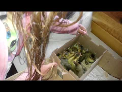 Bringing Home Mail Order Ducklings For The First Time