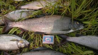 Рыбалка на хариуса на Ангаре