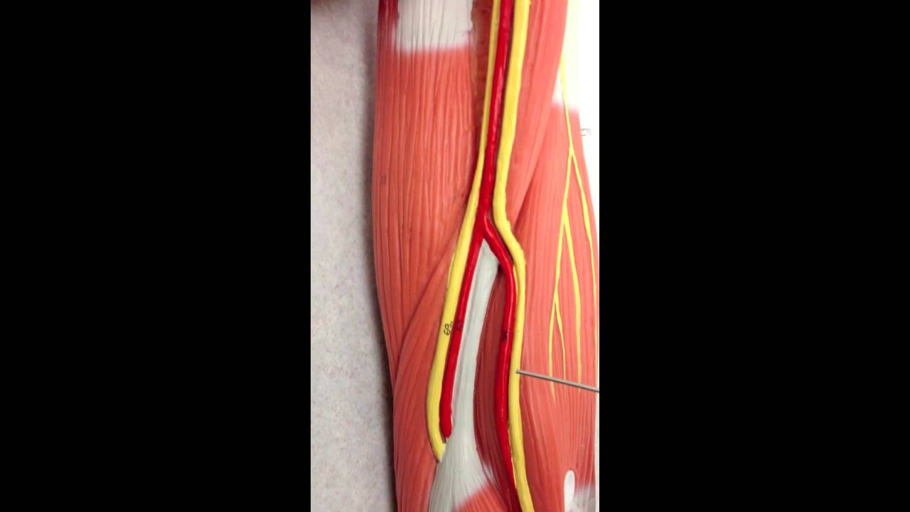 Brachial Plexus Anatomy on Model - YouTube
