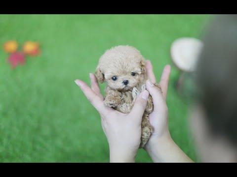 Live Teddybear?! Amazing Poodle  - Teacup Puppies