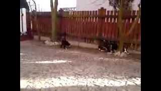 Karelski Pies na Niedźwiedzie - Hodowla BearBusters FCI