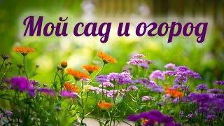 Что я выращиваю в саду и огороде. Моя теплица. Июнь 2016