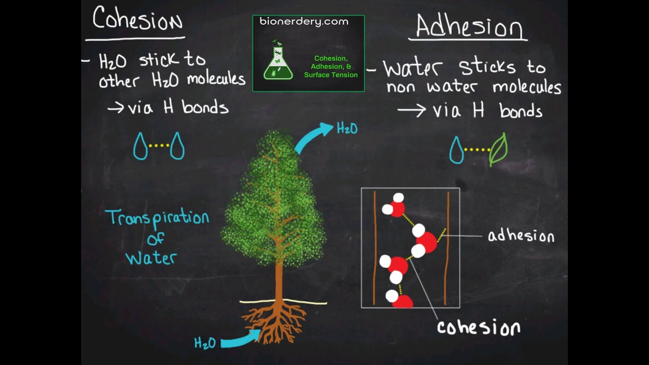 Cohesion, Adhesion, & Surface Tension  YouTube