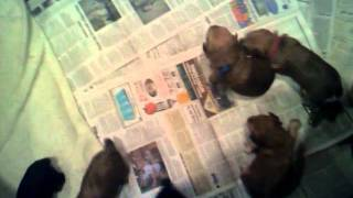 Yochon Puppies Learning To Walk