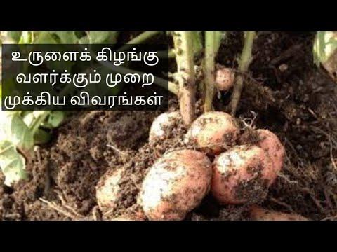 உருளைக் கிழங்கு வளர்க்கும் முறை முக்கிய விவரங்கள் | how to grow potato plant in home -terrace garden