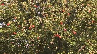 Gambar cover Gardening in the Zone: Growing Apples