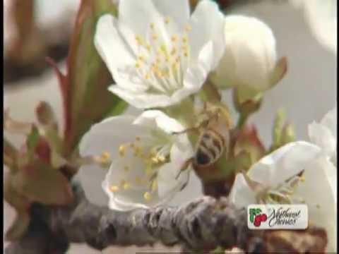 Quy trình trồng và thu hoạch Cherry Mỹ