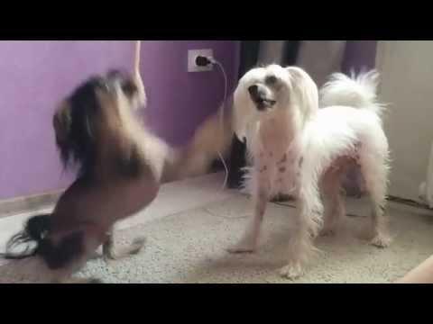 Китайская хохлатая собака фото, щенки китайской хохлатой