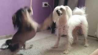 Китайская хохлатая собака/Chinese Crested Dog/Funny Dogs/Fynny Videos