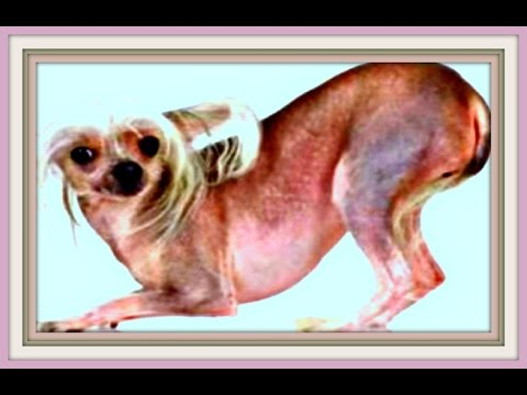 Chinese Crested Hairless Dogs (X100)