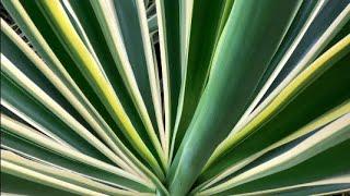 Yucca elephantipes 'Variegata', Variegated Yucca