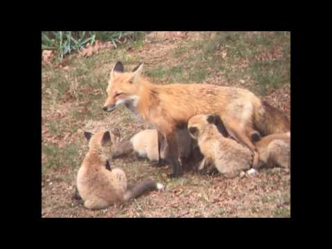 Vixen Screech - What Fox Screams (Mating Calls) Sound Like