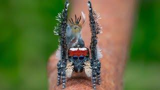 Peacock Spider 20 (Maratus tortus)