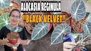 ALOCASIA BLACK VELVET/ALOCASIA REGINULA HOW TO REPOT AND WHAT KIND OF SOIL CAN BE USED