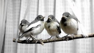 社用車のマフラーに巣作りしてしまったため、保護したセグロセキレイ4羽。 保護日2012年5月24日 撮影日2012年5月31日.