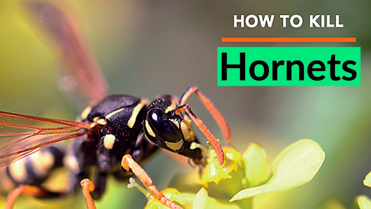 How to Kill Hornets  Best Way to Kill Hornets Easily