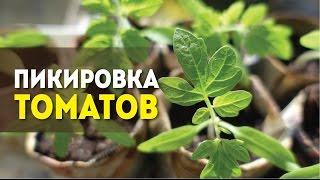 Пикировка томатов.(Пикировка томатов - очень важный агротехнический прием, который способствует развитию корневой системы..., 2016-05-18T10:48:01.000Z)