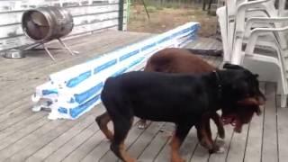 Puppy Rottweiler V Kelpie
