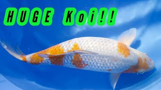 HUGE KOI Fish from JAPAN!